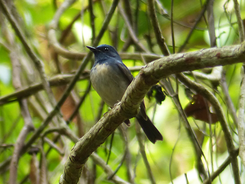 hainan-blue-flycatcher2