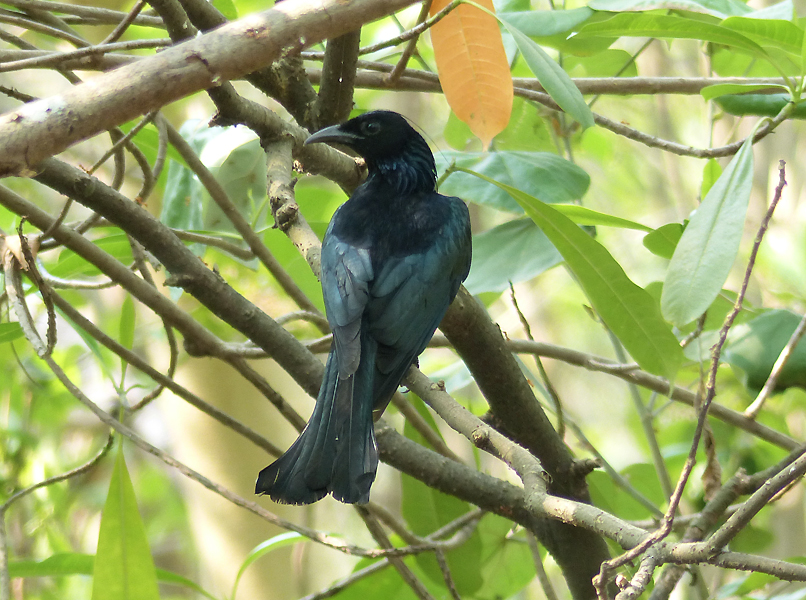 hair-crested-drongo