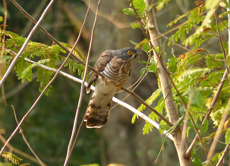 large-hawk-cuckoo