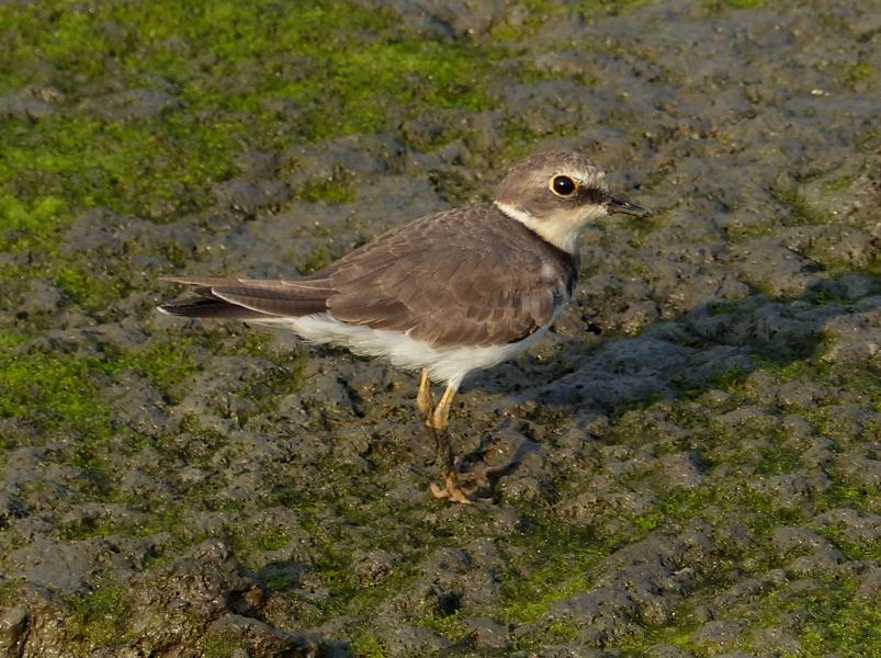 little-ringed-plover2
