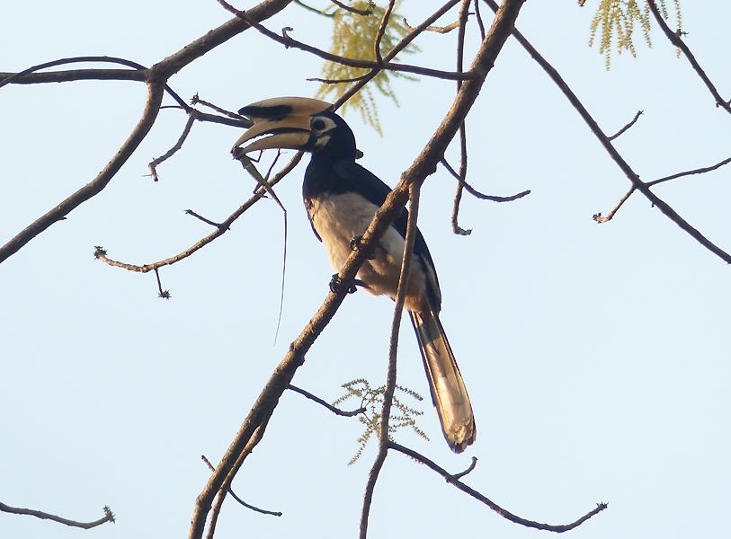 oriental-pied-hornbill5