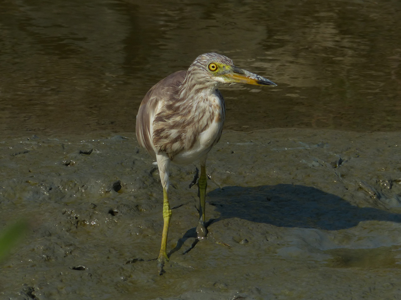 pond-heron-sp2