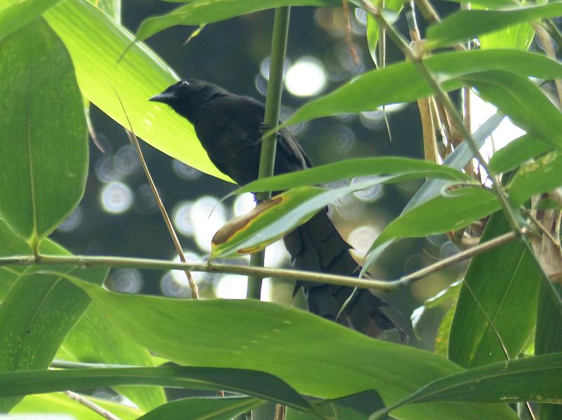 ratchet-tailed-treepie3