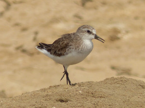 red-necked-stint3
