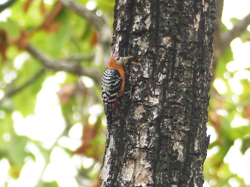 rufous-bellied-woodpecker2