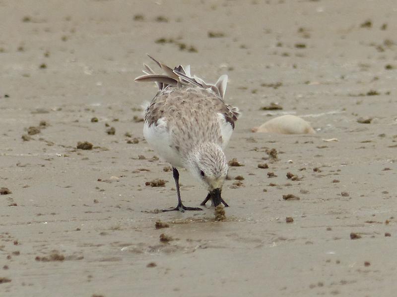 sanderling4