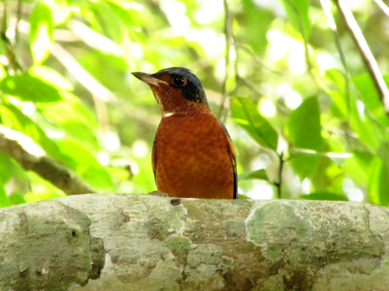 white-throated-rockthrush5