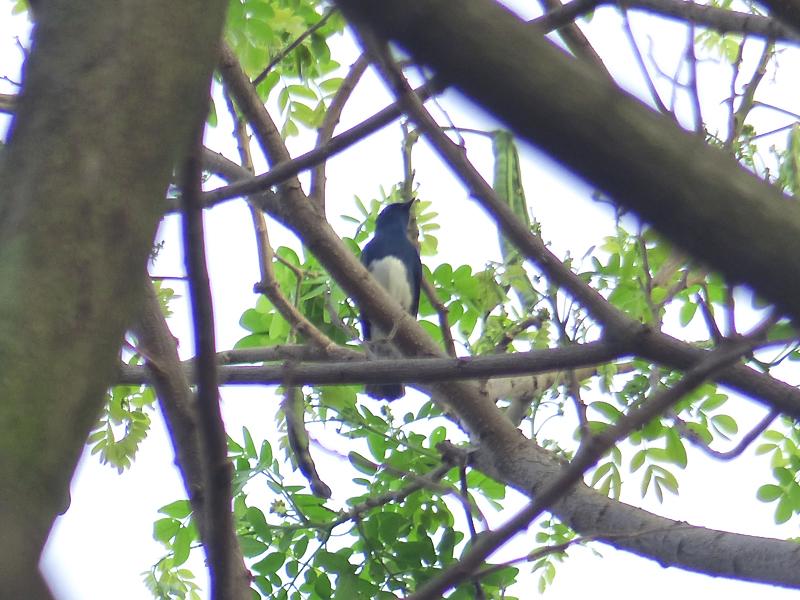 zappeys-flycatcher