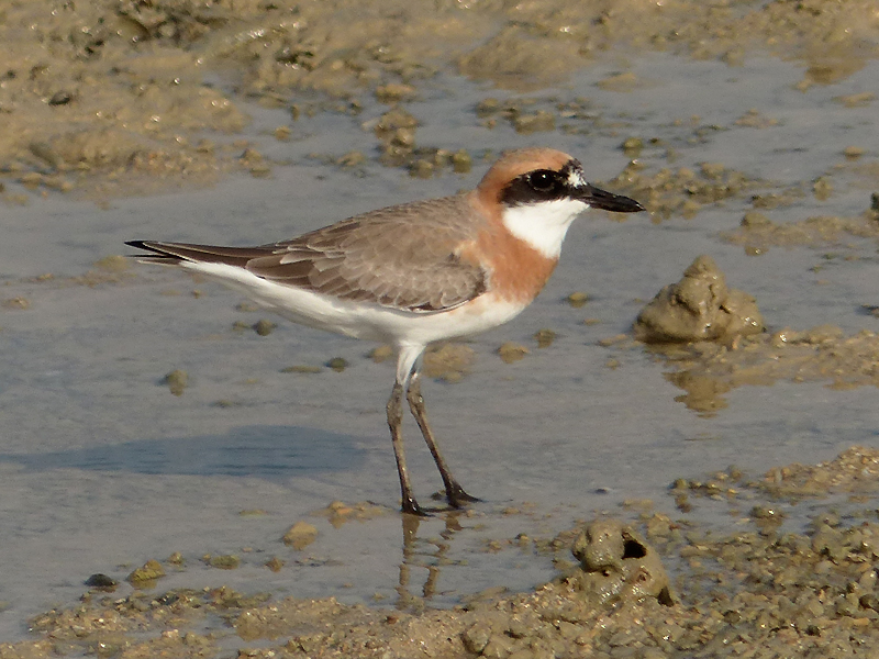 greater-sand-plover2