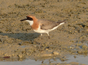 greater-sand-plover3