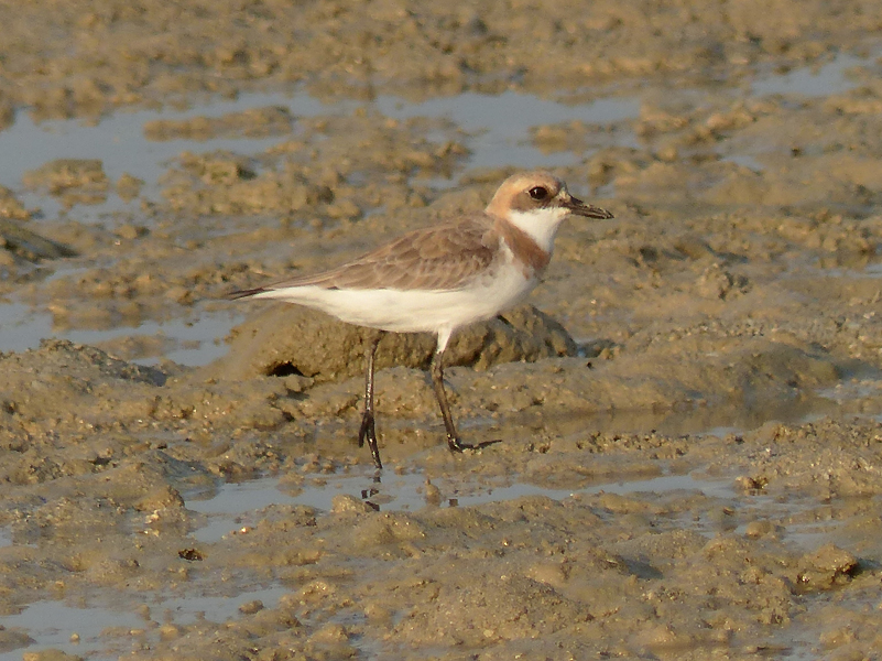 greater-sand-plover4