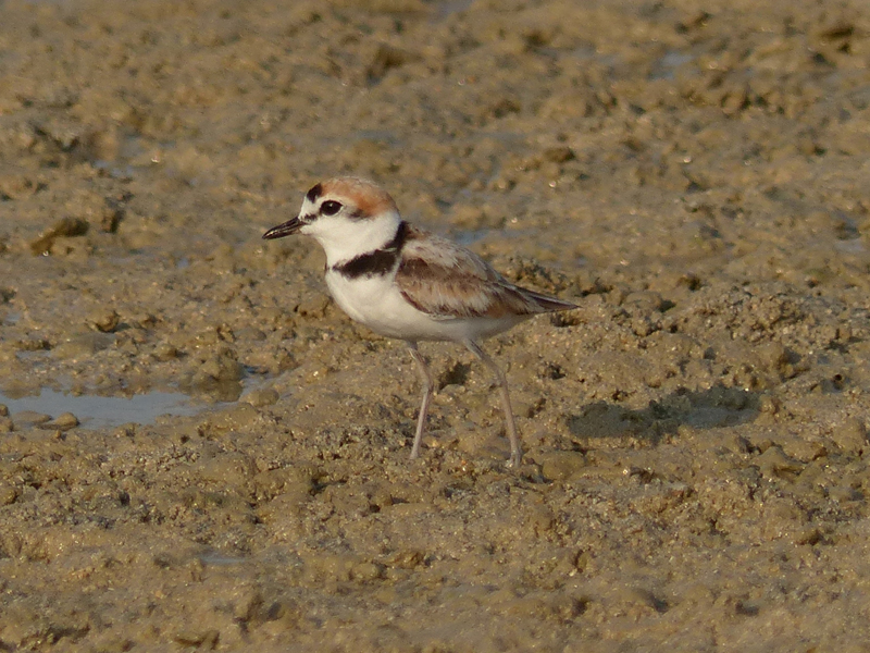 malaysian-plover5