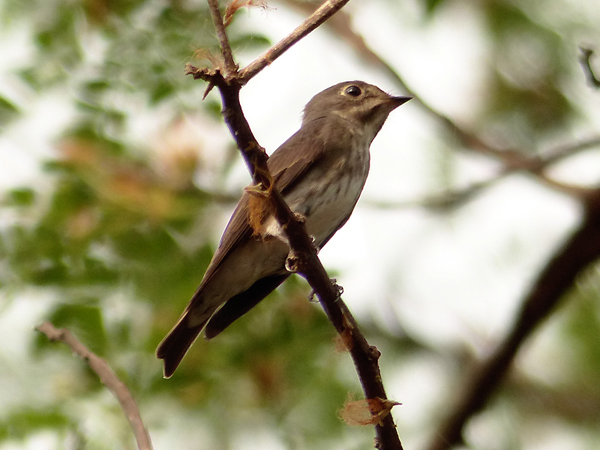 dark-sided-flycatcher2