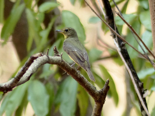 green-backed-flycatcher