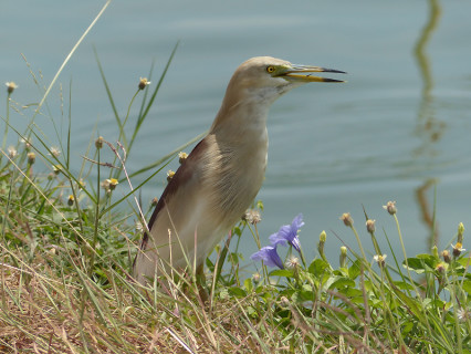 indian-pond-heron