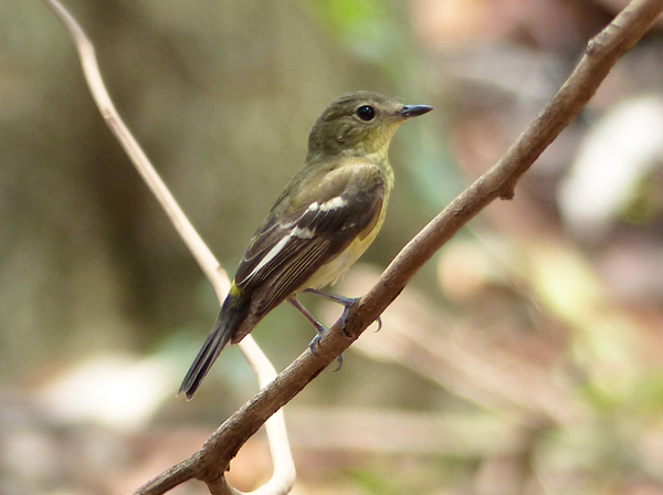 yellow-rumped-flycatcher6