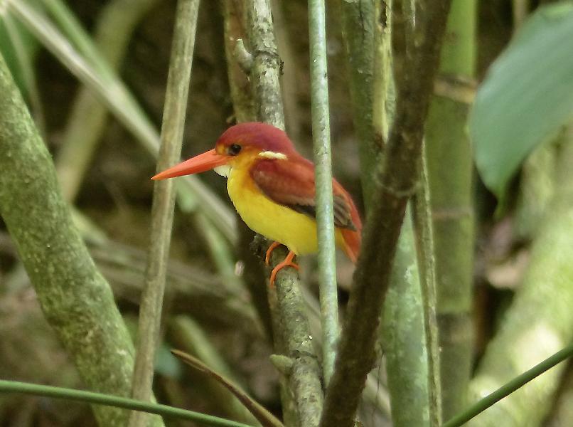 rufous-backed-kingfisher