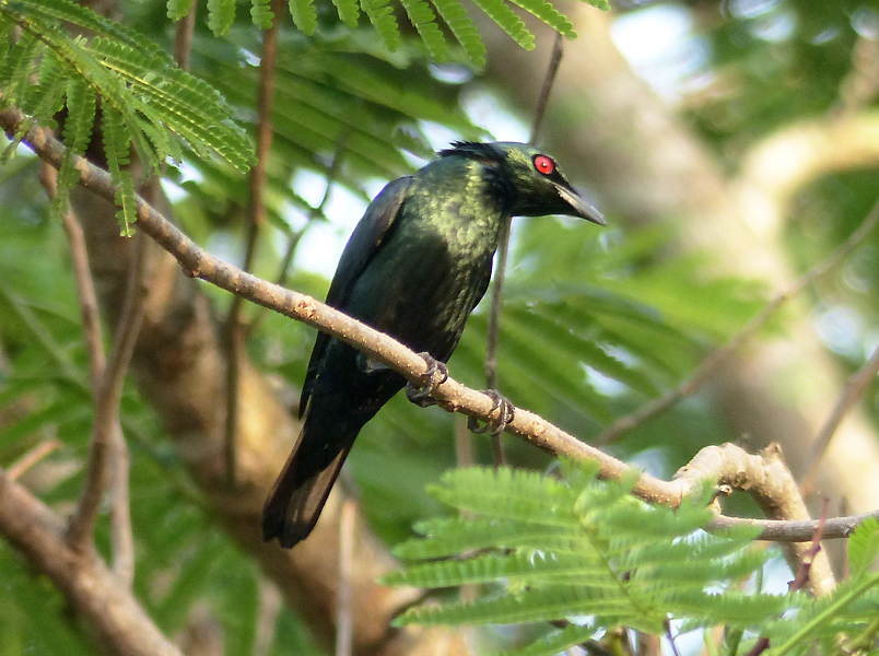 asian-glossy-starling