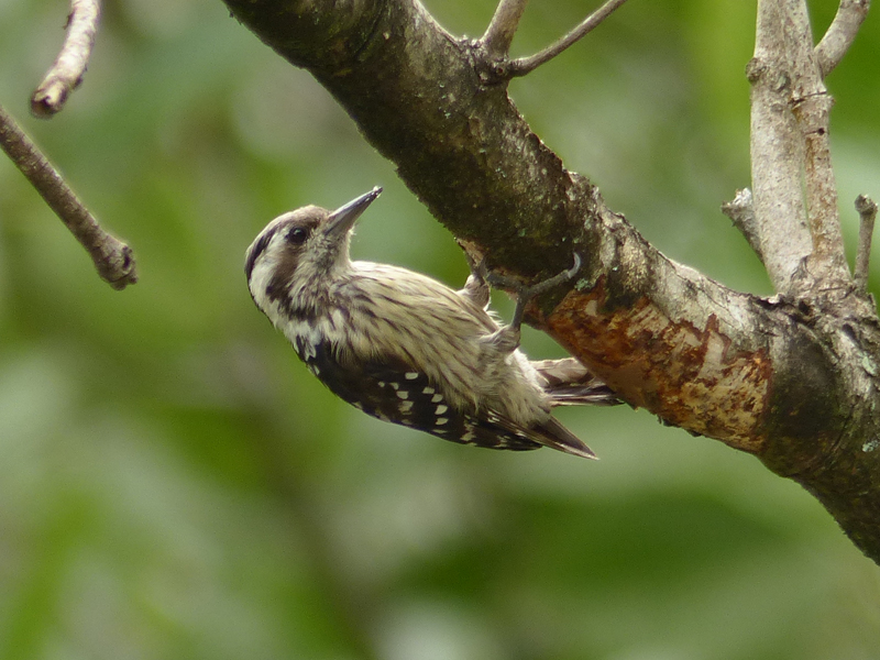 grey-capped-pygmy-wood
