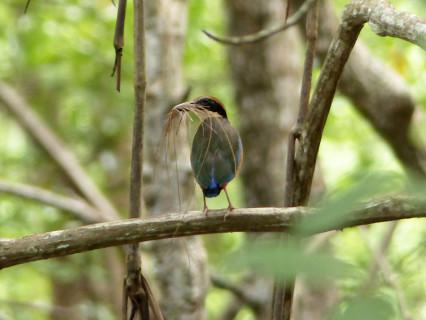 mangrove-pitta