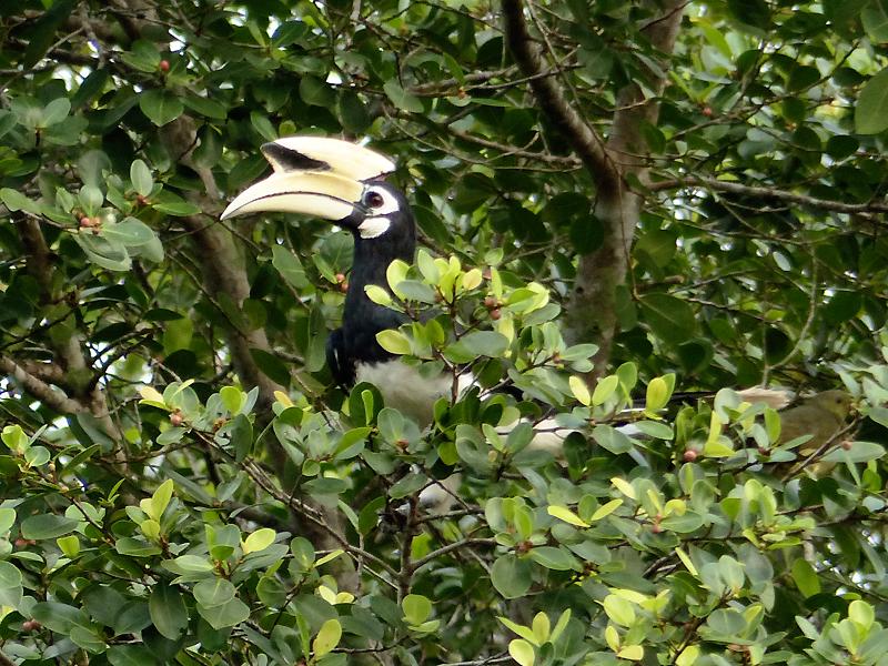 oriental-pied-hornbill8