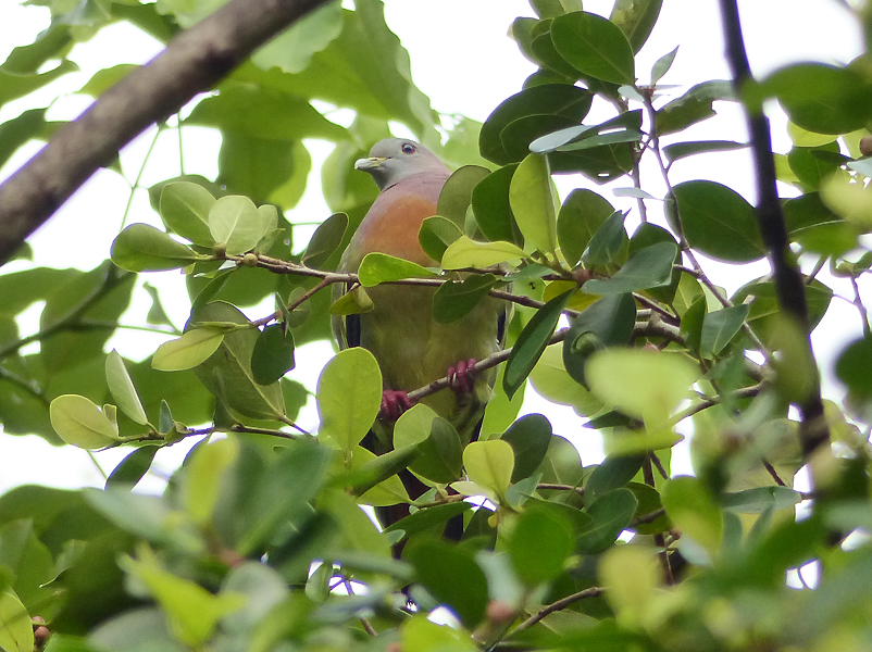 pink-necked-green-pigeon5