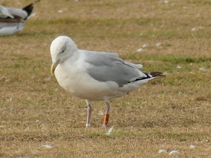 herring-gull5