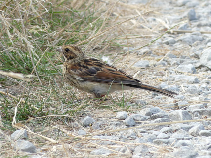 reed-bunting4