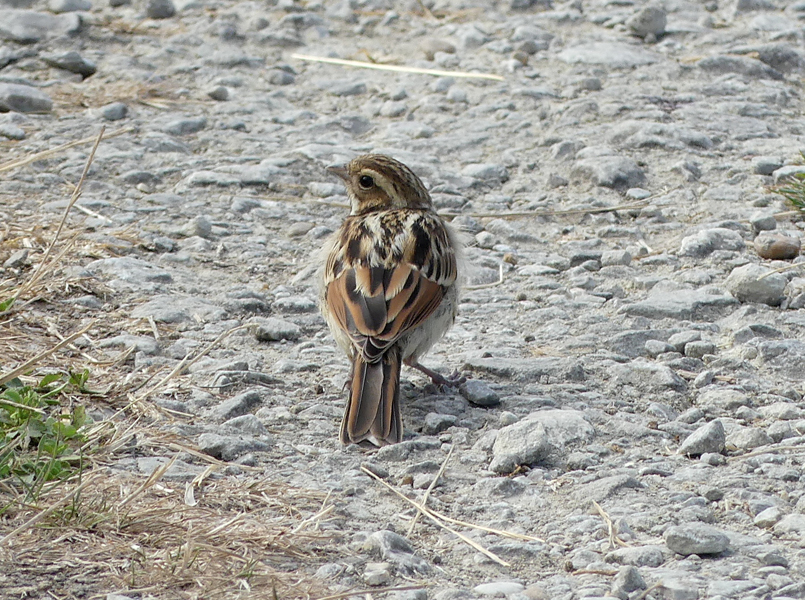reed-bunting5