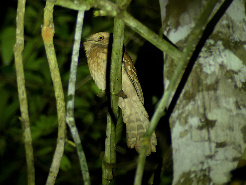 Goulds-Frogmouth
