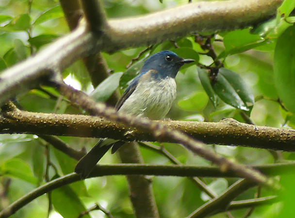 Hainan-blue-flycatcher3