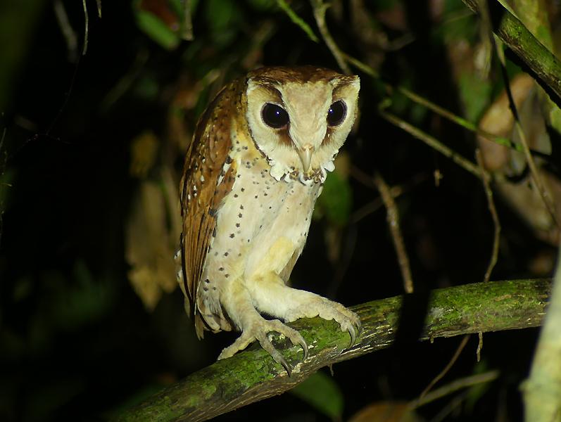 Oriental-Bay-Owl
