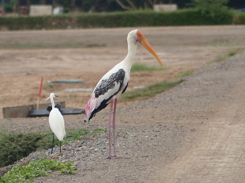 Painted-Stork