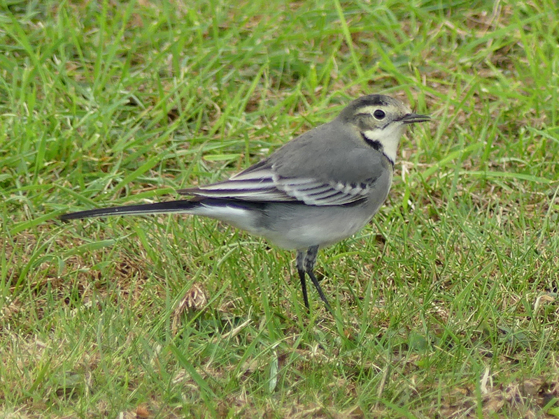 Pied-wagtail2