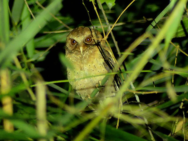Reddish-Scops-Owl2