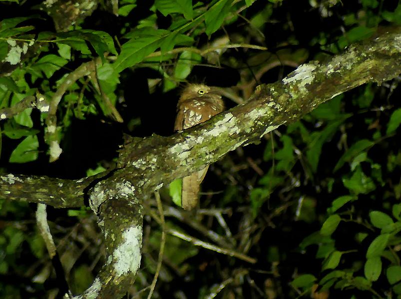 Sunda-Frogmouth