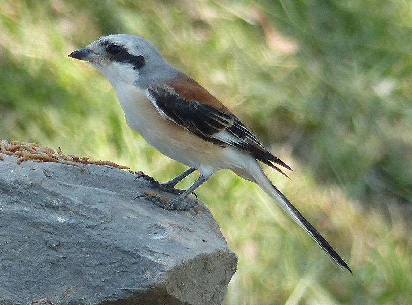 bay-backed-shrike