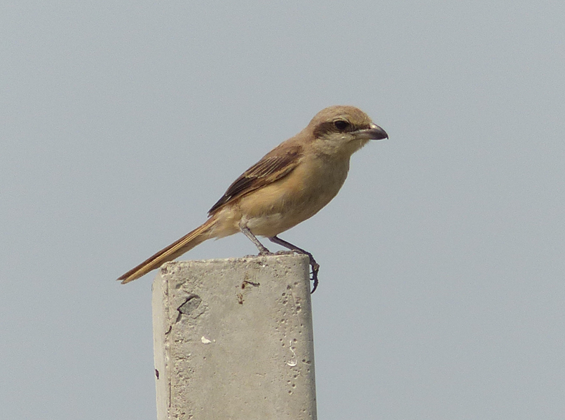 brown-shrike