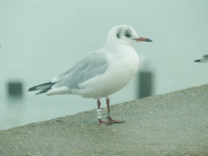 ringed-black-headed-gull