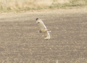 short-eared-owl-facebook