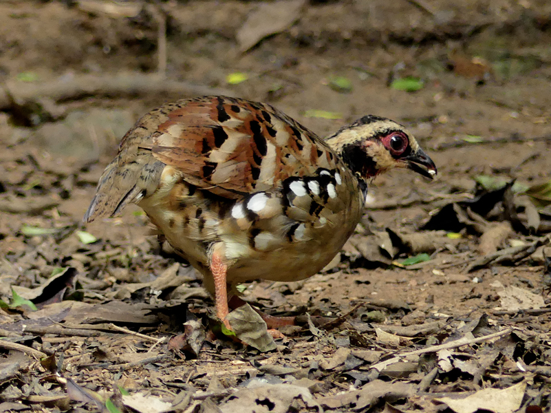 Bar-backed-partridge