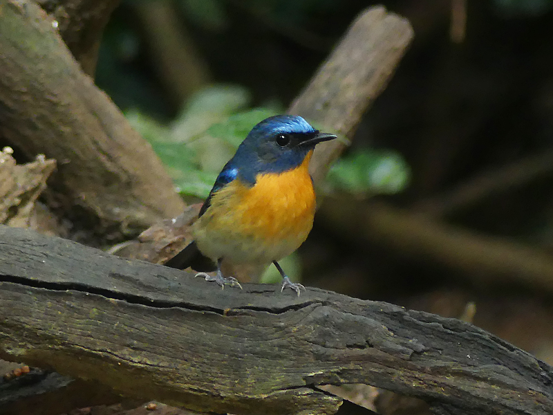 Chinese-blue-flycatcher