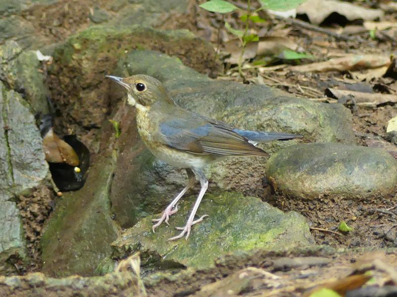 Siberian-blue-robin