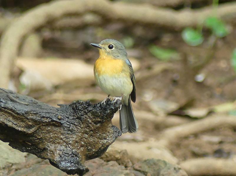 Tickells-blue-flycatcher-female