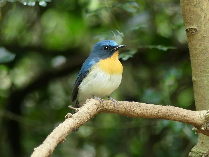 Tickells-blue-flycatcher-male