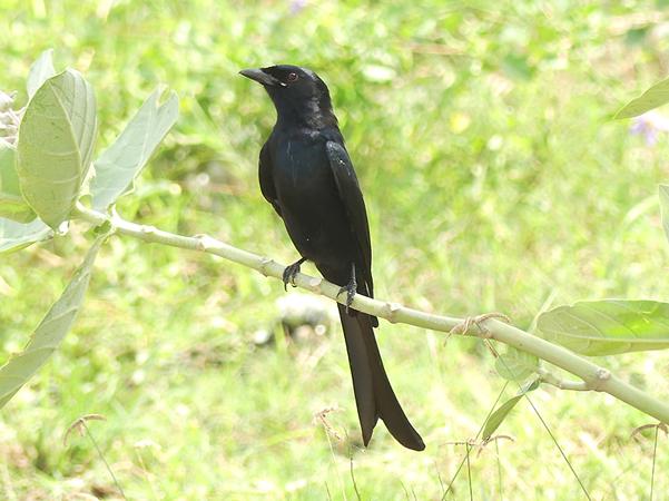black-drongo