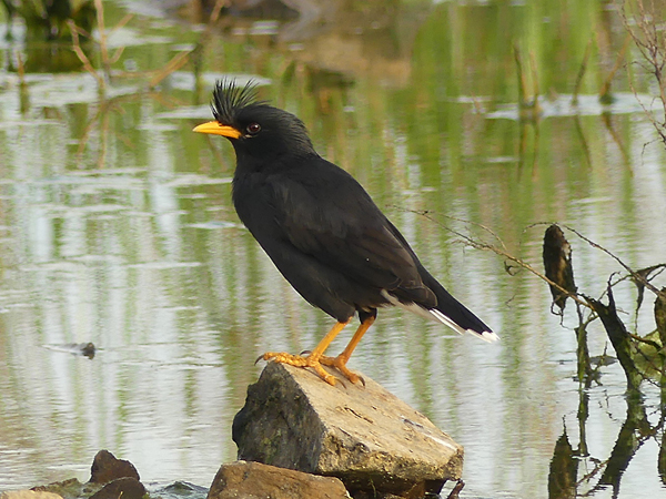 white-vented-myna