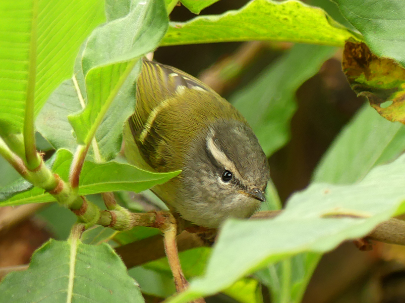 Ashy-throated-warbler5