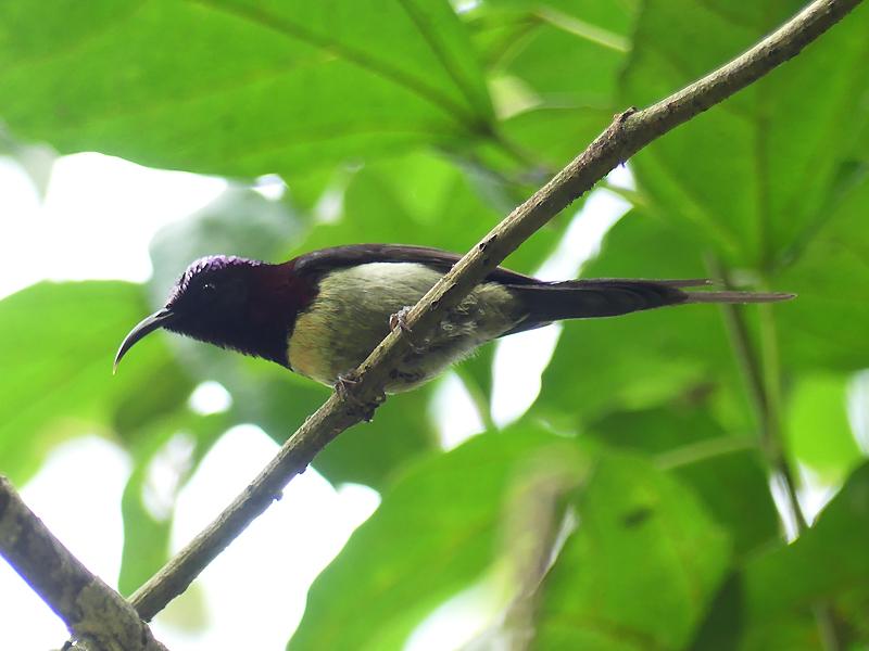Black-throated-sunbird