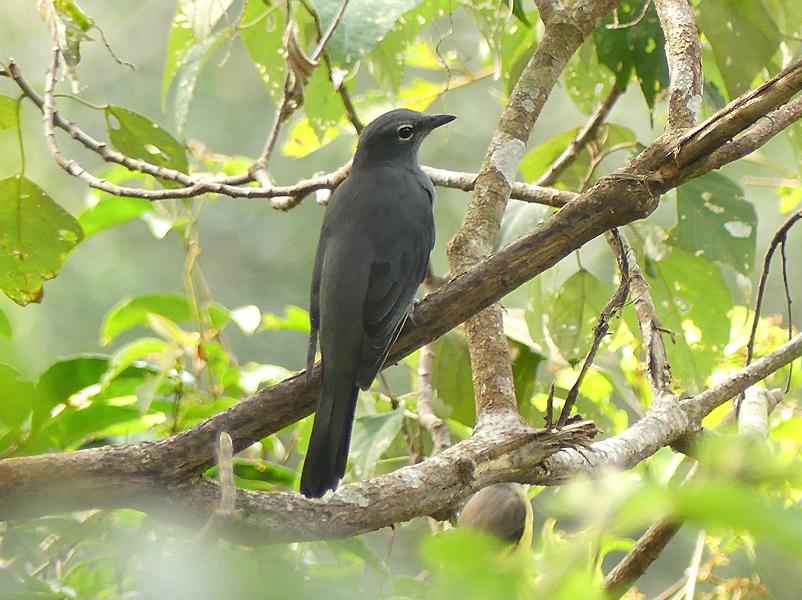 Black-winged-cuckooshrike